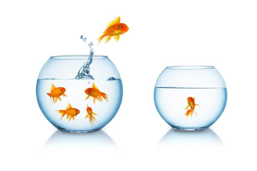 gold fish escape in a fishbowl