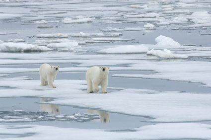 Polar Bear with Yearling Cub