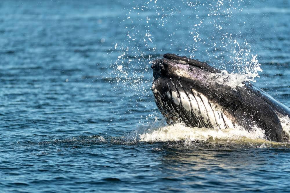 Bitcoin-Kurs wieder über 8.500 US-Dollar: Stecken Wale dahinter?