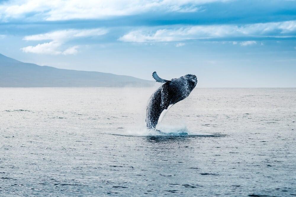 Bitcoin-Kurs-Manipulation: Einzelner Wal soll Allzeithoch ausgelöst haben