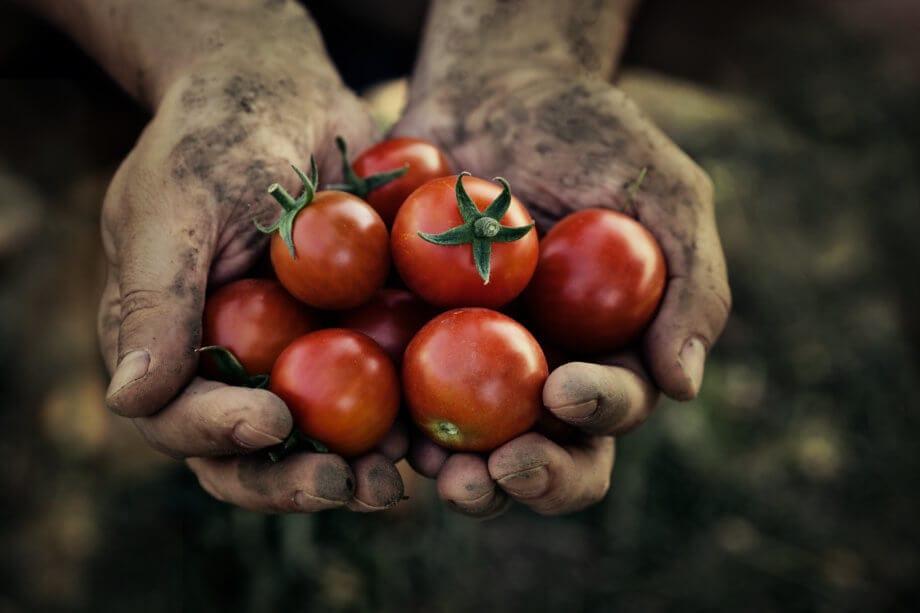schmutzige hände halten frisch geerntete rote kleine tomaten in der hand