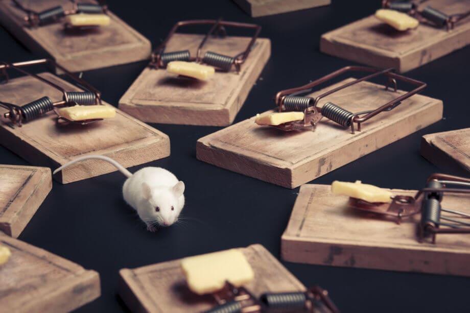 Eine weiße Maus zwischen Mausefallen die mit Käse bestückt sind