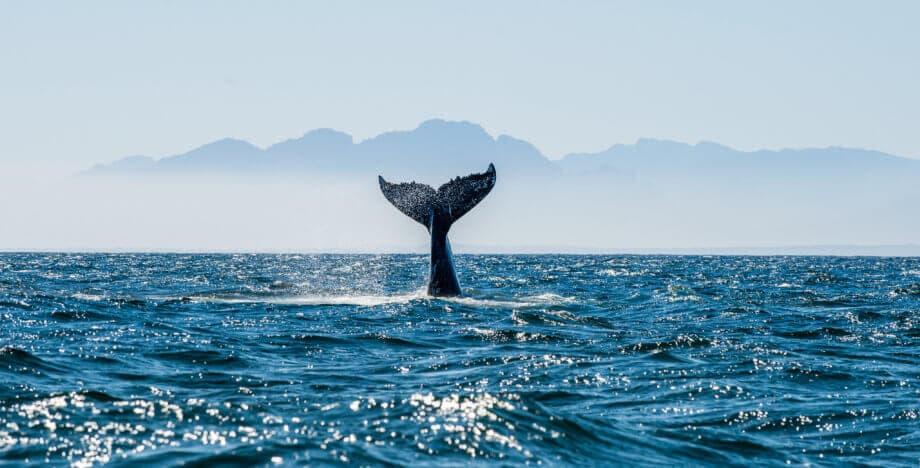 Schwanzflosse eines Wals, die aus dem Meer ragt