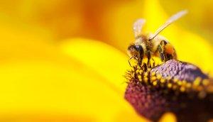 eine biene, die auf einer sonnenblume sitzt und pollen sammelt, um später honig zu produzieren. im Hintergrund sieht man die gelbe blume