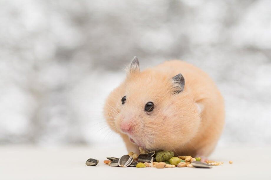 Hamster auf weissem Hintergund mit Hamsterbacken