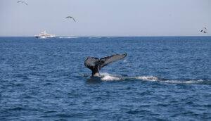 Schwanz eines Buckelwals vor der Küste von Cape Cod.