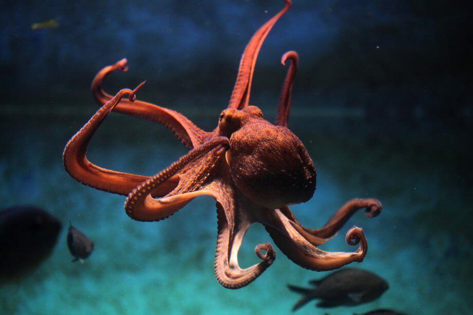 ein-kraken-im-wasser