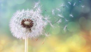 eine-pusteblume-im-wind