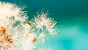 Fliegende Samen einer Pusteblume