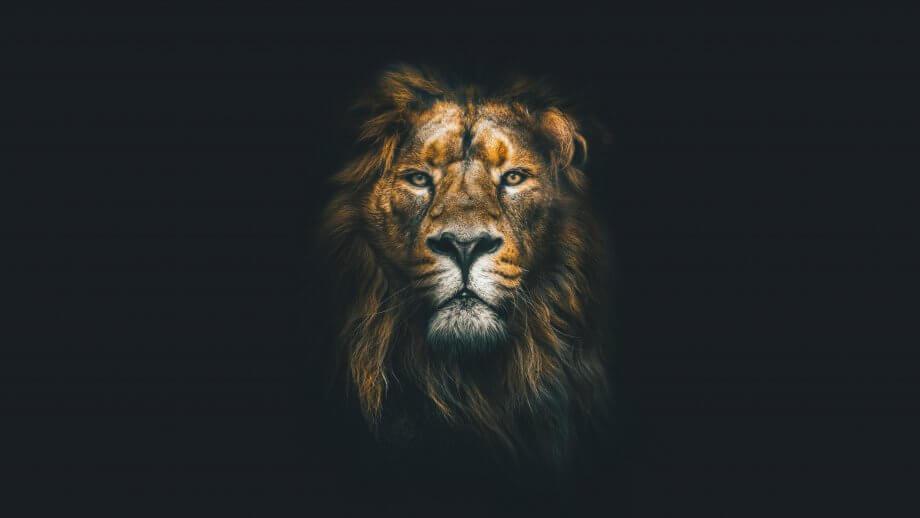 Brave-Löwe vor schwarzem Hintergrund