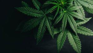 Cannabisblätter auf schwarzem Hintergrund