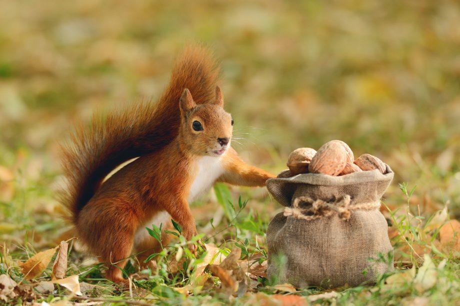Eichhörnchen sammelt Nüsse in Anlehnung an Bitcoin-Rücklagen.