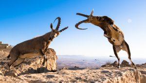 Zwei Bergziegen im Zweikampf