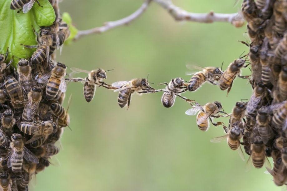 Mehrere Bienen bilden eine BRücke, die Kooperation zwischen Cashlink udn area2invest darstellen soll