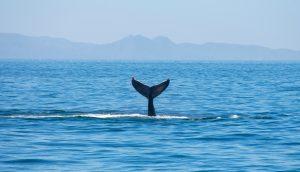 Ein Wal schwimmt im Meer