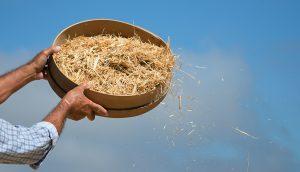 Mensch trennt die Spreu vom Weizen