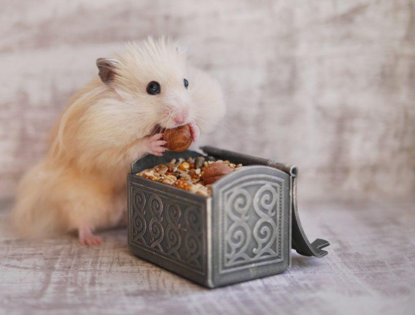 Hamster isst eine Haselnuss