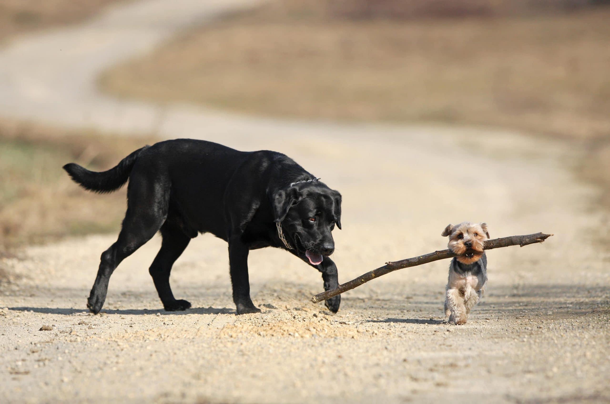 Ein kleiner Hund mit Stock im Maul überholt einen deutlich größeren Hund auf einem Feldweg