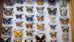 Ein Schaukasten mit verschiedenen Schmetterlingen