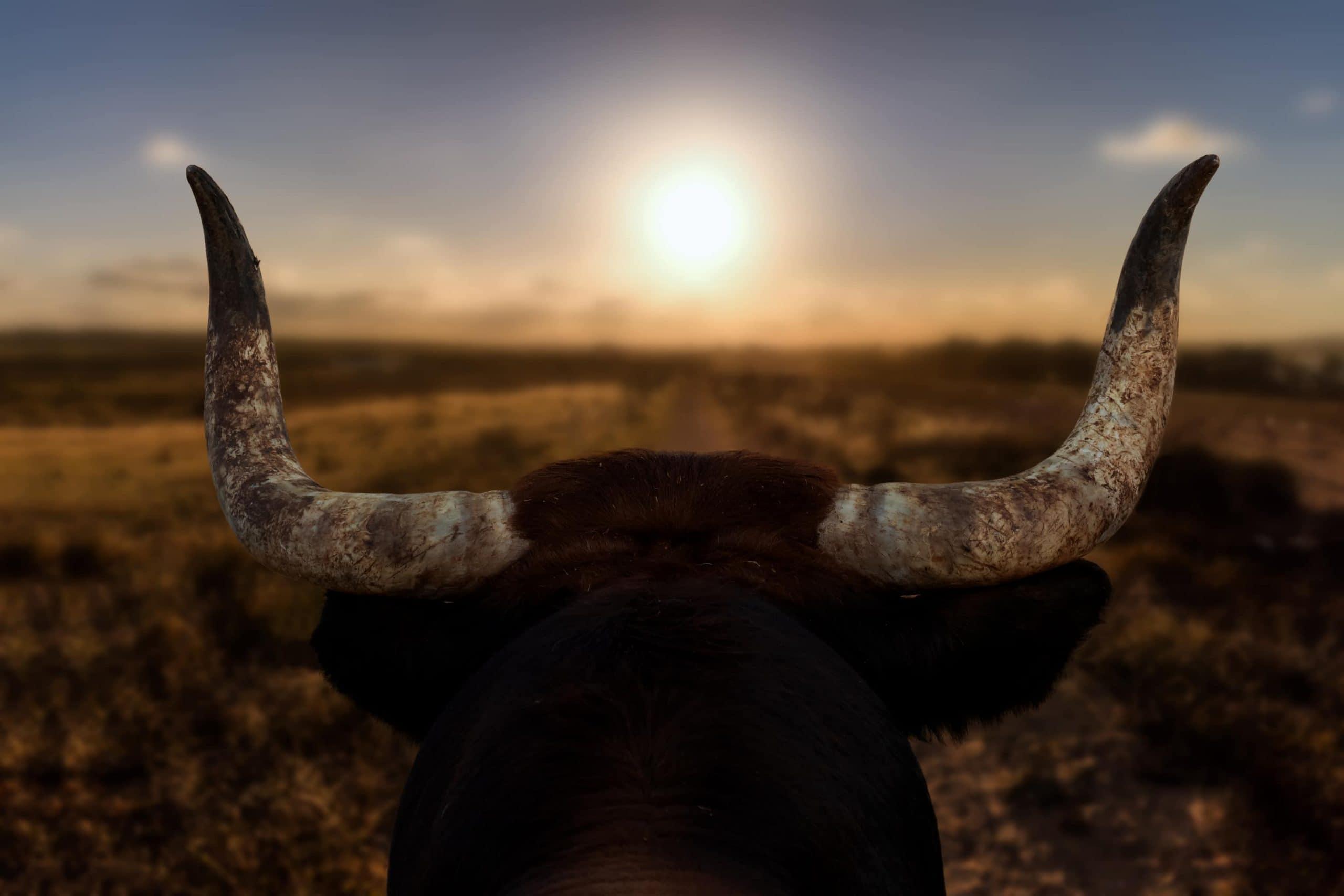 Hinterkopf eines Stiers, der Richtung Sonnenaufgang schaut