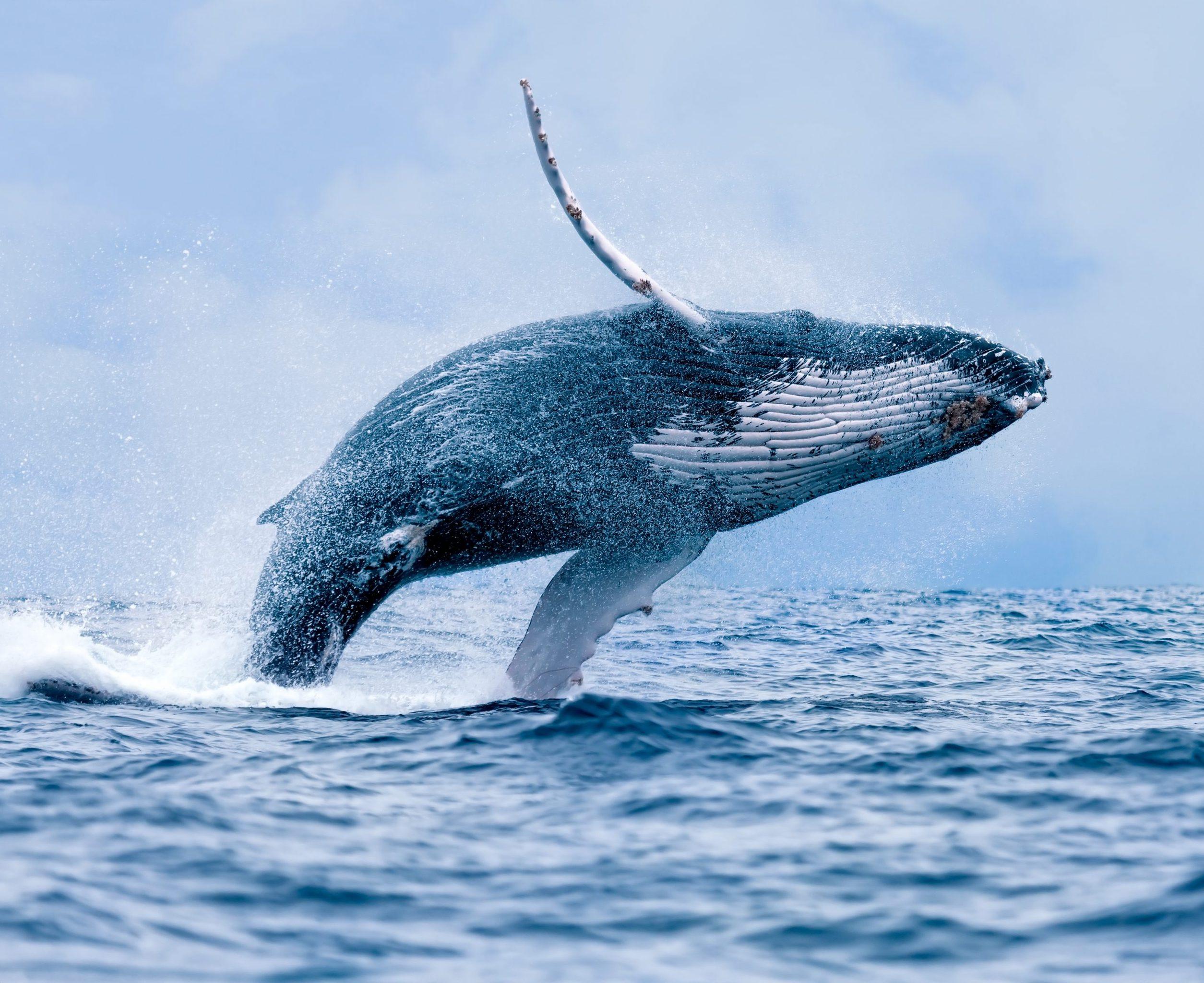 Ein Wal taucht aus dem Wasser auf.