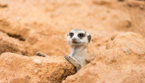Ein Erdmännchen schaut aus seinem Loch hervor.