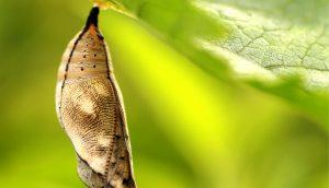 Ein Konkon hängt von einem Blatt herunter. Darin befindet sich ein Schmetterling.