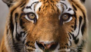 Tiger guckt in die Kamera
