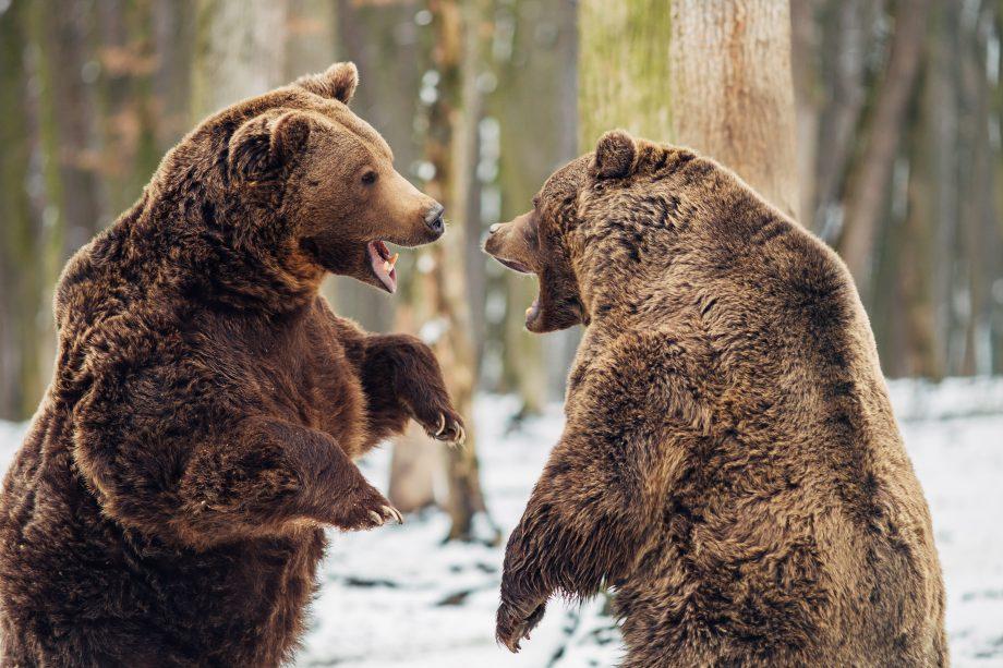 Zwei Braunbären kämpfen in einem verschneiten Wald gegeneinander.