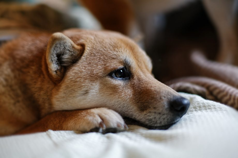 Ein Shiba Inu Hund liegt auf einem Bett.