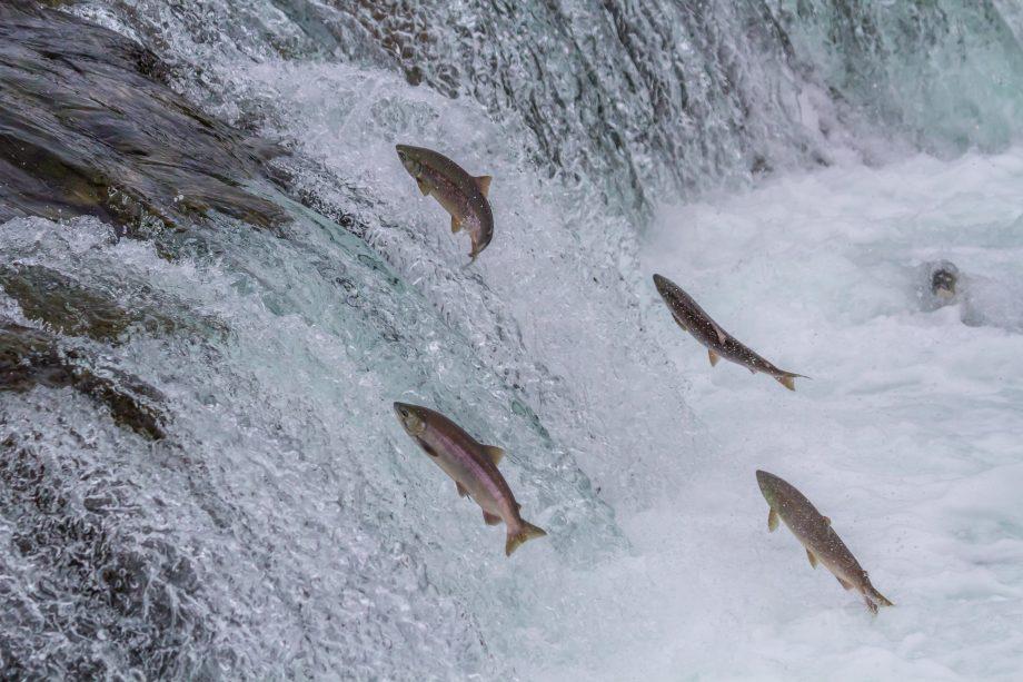 Ein Gruppe von Lachsen schwimmt gegen den Strom.