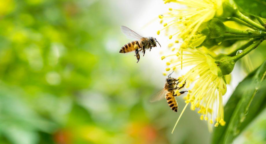 Zwei Bienen bestäuben eine gelbe Blume.