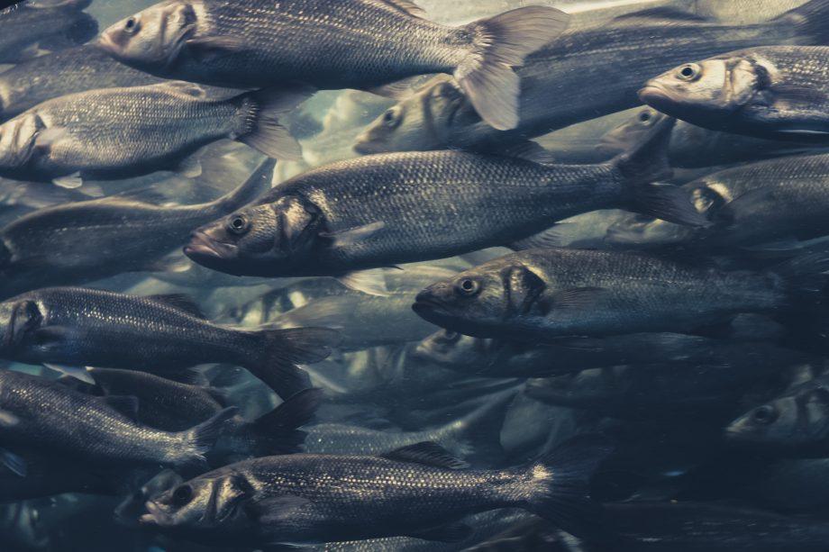 Fischschwarm schwimmt im Wasser.