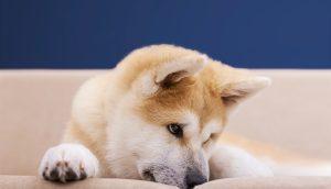 Trauriger Shiba Inu Hund
