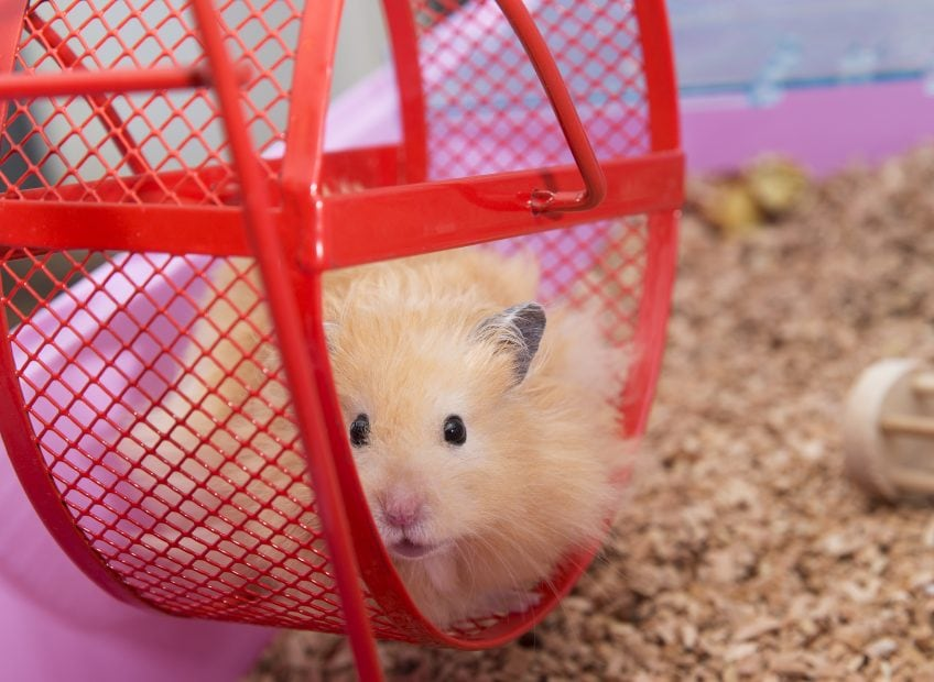 Hamster im Hamsterrad